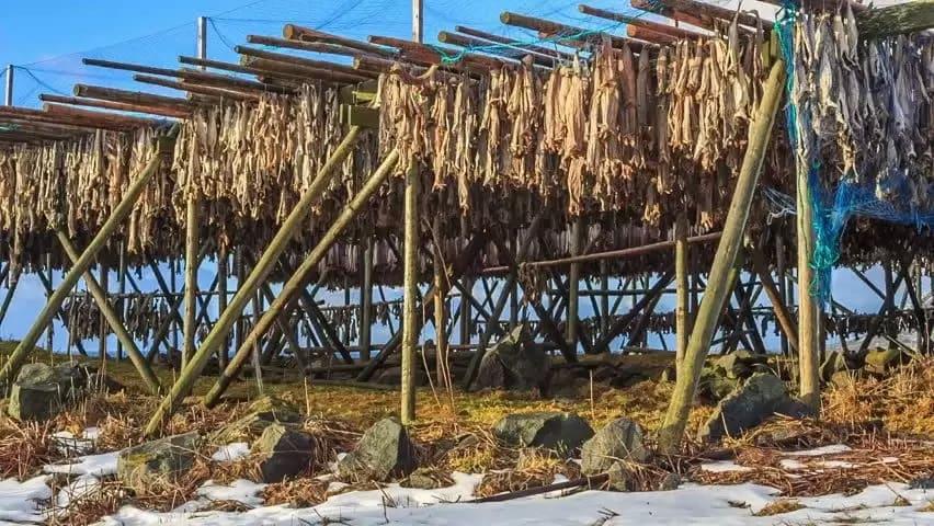 Lofoten-fiske från Værøy
